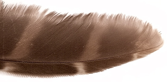 Question about the different materials used for fletching Barred_owl_feather